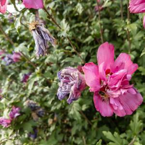 Honey Bee and Hollyhock