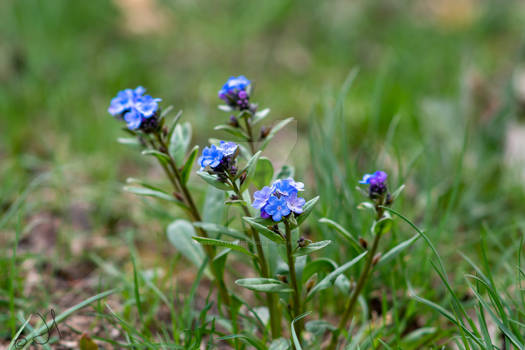 Wild forget-me-not
