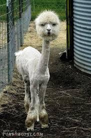 /llama. by ohyoubakabun