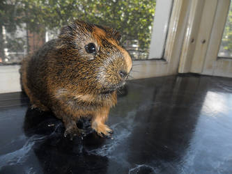 Adorable Guinea Pig by KristallNacht88