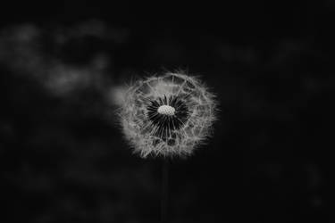 Dark Dandelion.. by Activvv