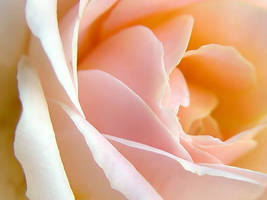 Pink Rose 03 by bubbagump