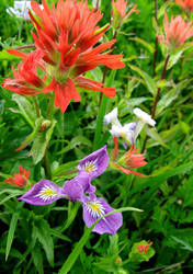 Indian Paintbrush and Wild Iris