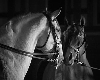 Luso Stallions by stealersweep