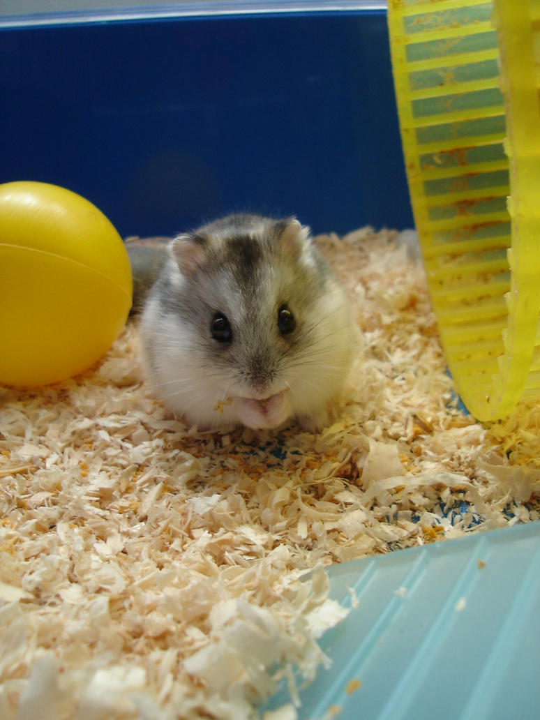 my hamster by samantha994
