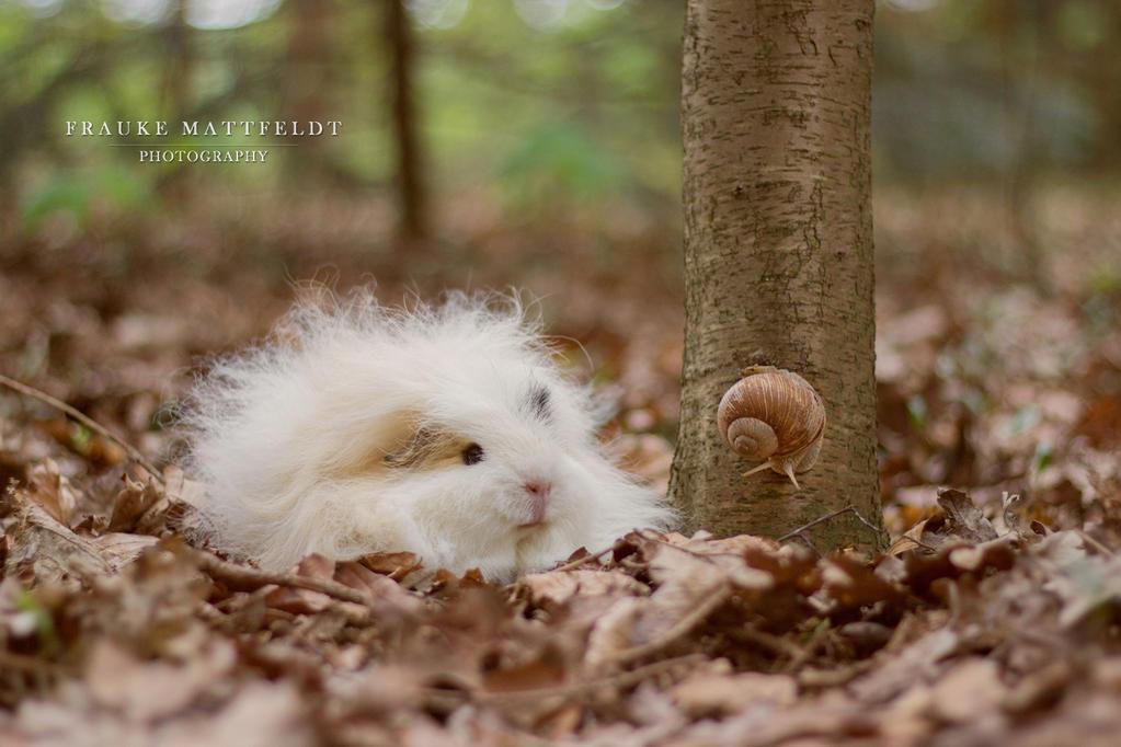 swiss teddy guinea pigs