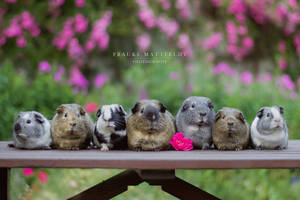 The American guinea pig family.