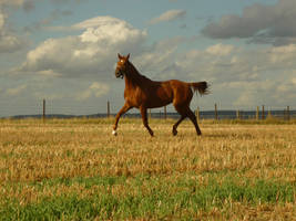 Animals - Running Horses 02 by Stock-gallery