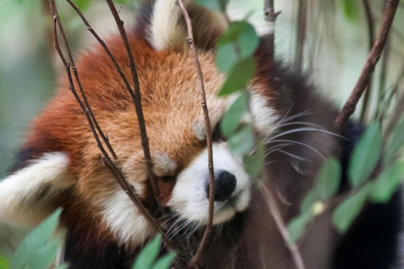 Red Panda by WeaselTea