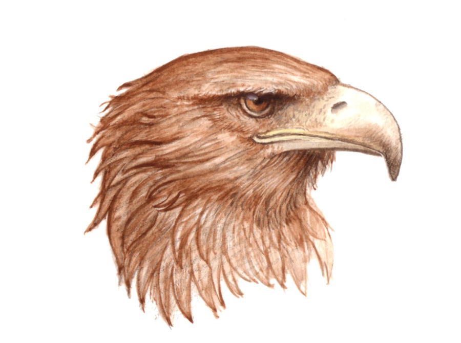 Eagle head pen   Eagle Head Pencil Drawing Easy