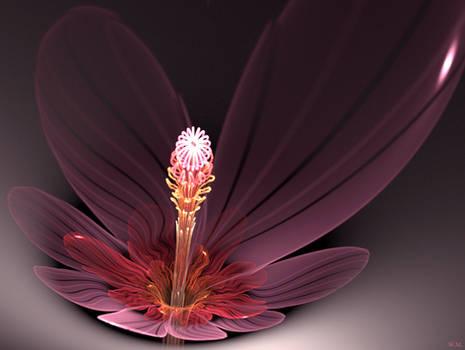 Hyacinthus plutonii