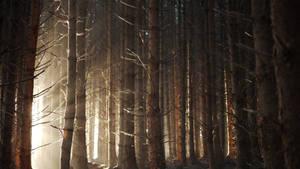 Dawn pine