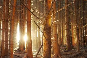 dawn fir by RoB-FranKsDad