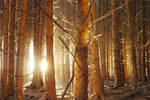 dawn fir