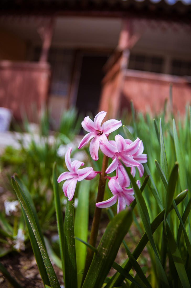 Pink hyacinths by haxxy