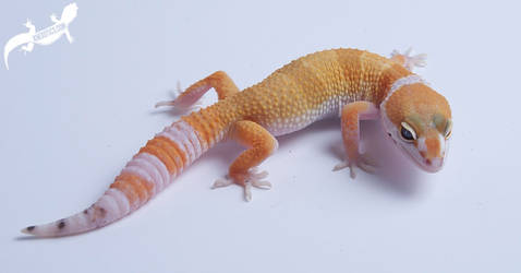 White and Yellow Super Hypo Tangerine Leopard Geck