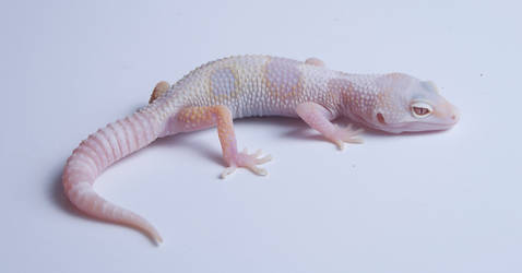 Mack Snow Tremper Hybino het Eclipse
