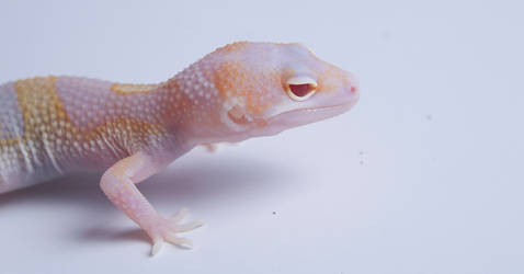White and Yellow Tremper Eclipse