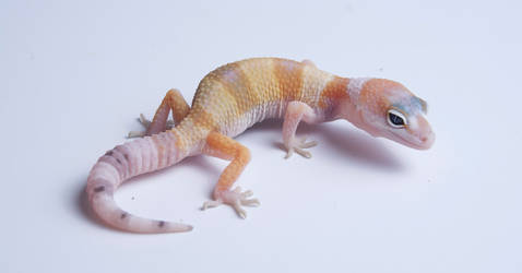 White and Yellow SuperHypo Tangerine Leopard Gecko