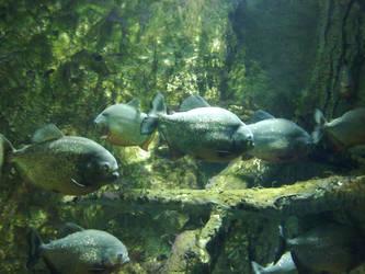 Piranha by trullalallero