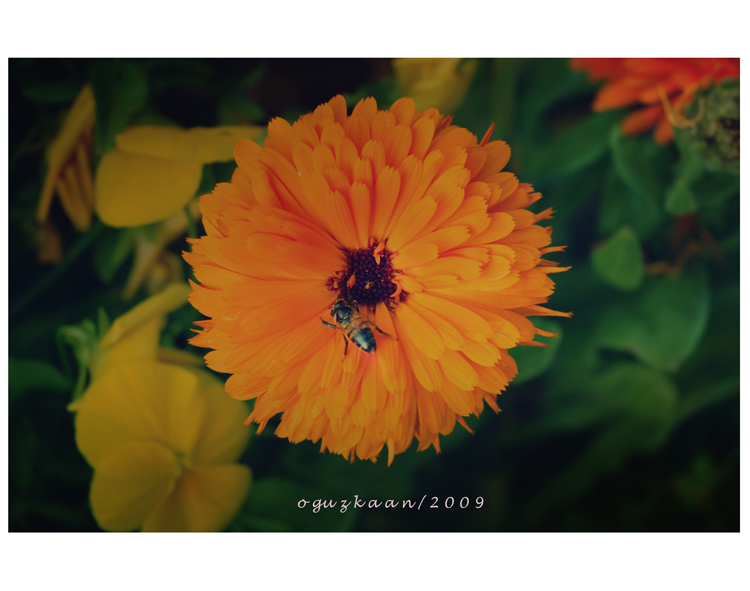 Orange A_bee__s_feature_by_oguzkaan