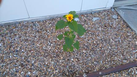 sunflower by KACI88