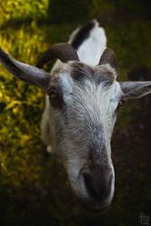 Goat by bzzlightyear
