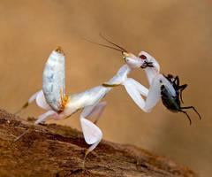 hymenopus coronatus. by norix