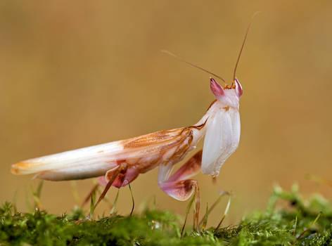 hymenopus coronatus.,
