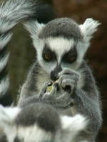 Lemur by Drakenborg