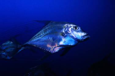 Chrome Fish by nicolai-bauchrowitz