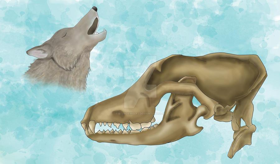 Wolf Anatomy by blondewolf2