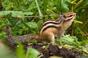 Chipmunk and the grain II by Sulde