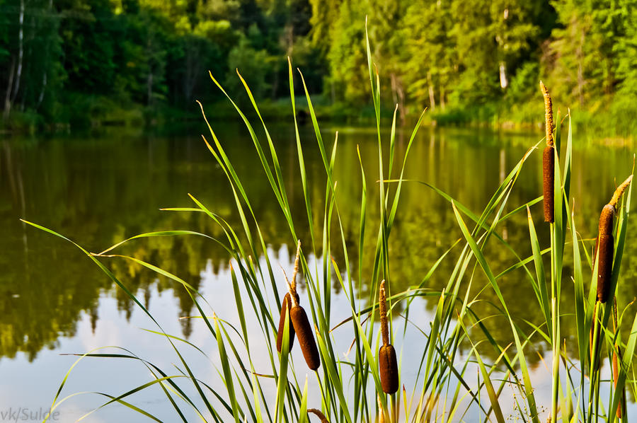 Pond with some canes by Sulde