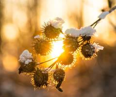 Shiny Bur by Sulde
