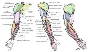 Arm Anatomy Diagram for Artists by robertmarzullo