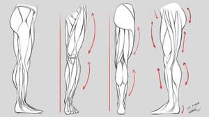 Leg Anatomy - Studies