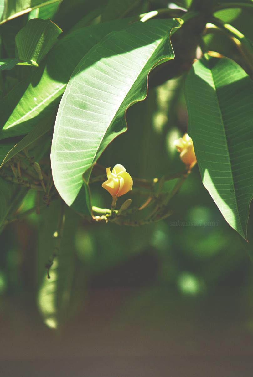 balinese frangipani by otorangers