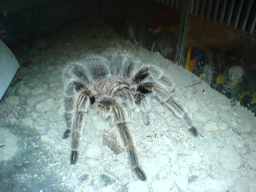 Harriet the Spider by CaptainGreene