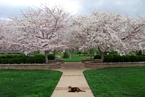 Kitty and Cherry Blossoms by JKittredge