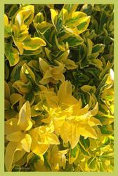 YellowEuronymusF by JKittredge