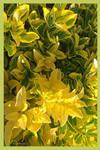 YellowEuronymusF
