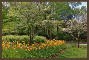 CheekwoodTulipsF by JKittredge