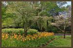 CheekwoodTulipsF