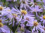 Lilac Flowers 2 by thetamar
