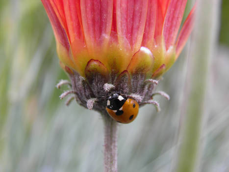 Ladybird 5