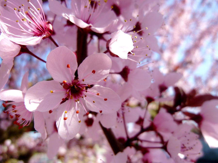 Cherry Blossom by Kass...