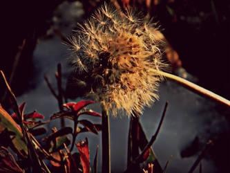 Dandelion in December by TropicalxLondon