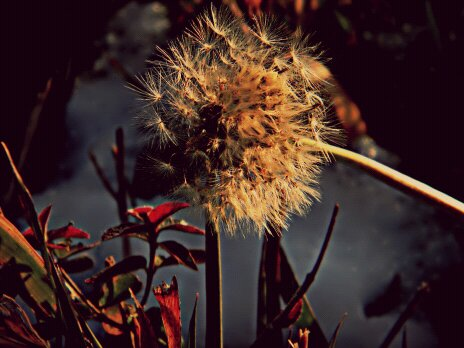 Dandelion in December by TropicalxLondon