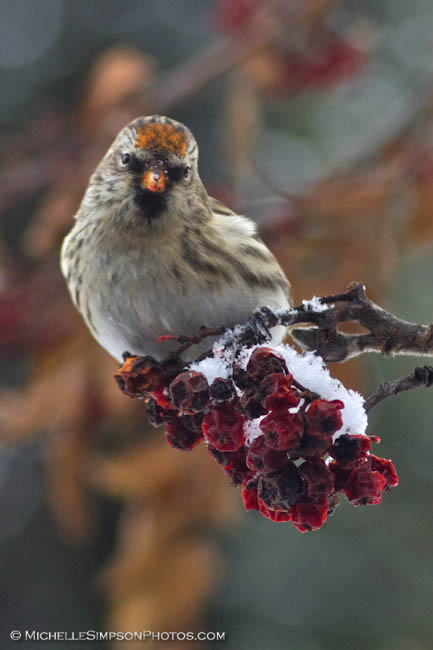 Redpoll by MSimpsonPhotos